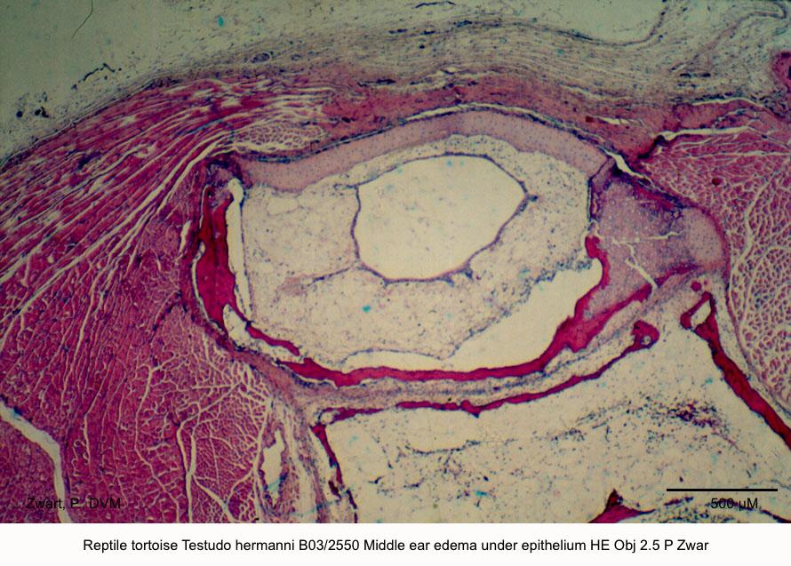 Testudo hermanni B03-2550 Middle ear edema under epithelium HE Obj 2.5 P Zwart kopie