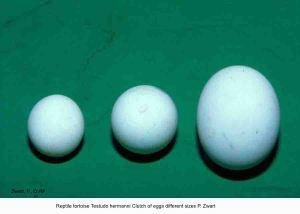 testudo-hermanni-clutch-of-eggs-different-sizes-p-zwart-kopie2
