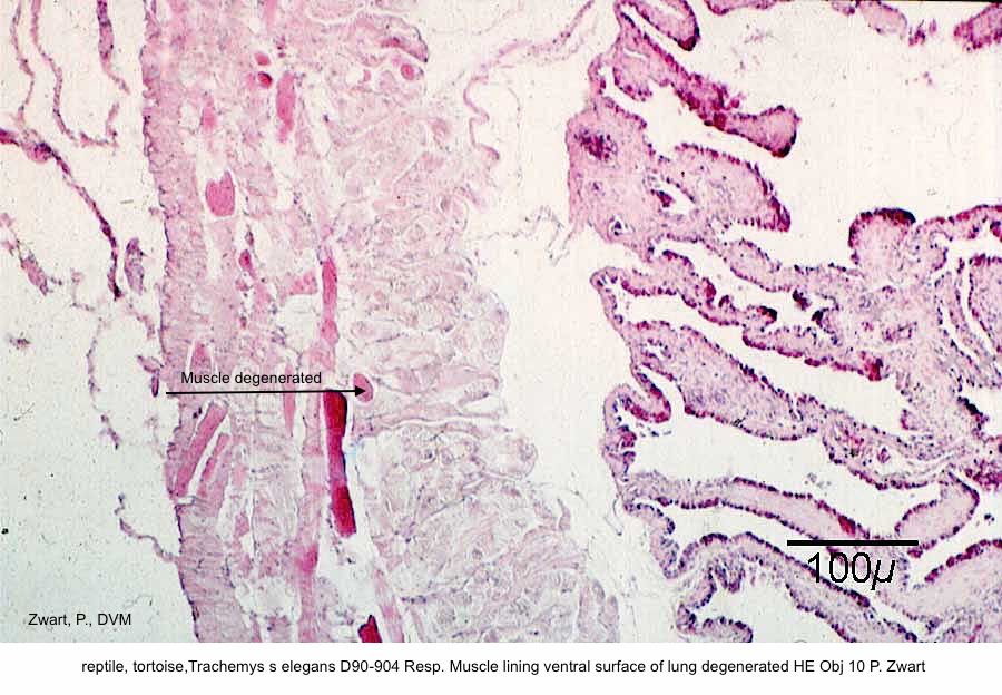 Trachemys s elegans D90-904 Resp. Muscle lining ventral surface of lung degenerated HE Obj 10 P. Zwart kopie 2