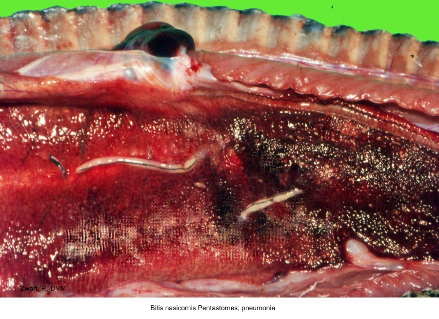 Bitis nasicornis A68--60 Pneumonia; Pentastomes P. Zwart