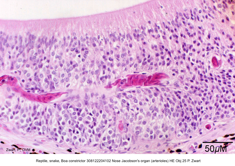 Boa constrictor 308122204102 Nose Jacobson's organ (arterioles) HE Obj 25 P. Zwart kopie