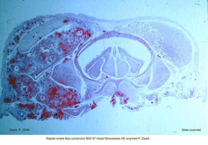 Boa constrictor B04-57 Head fibriscesses HE scanned P. Zwart kopie