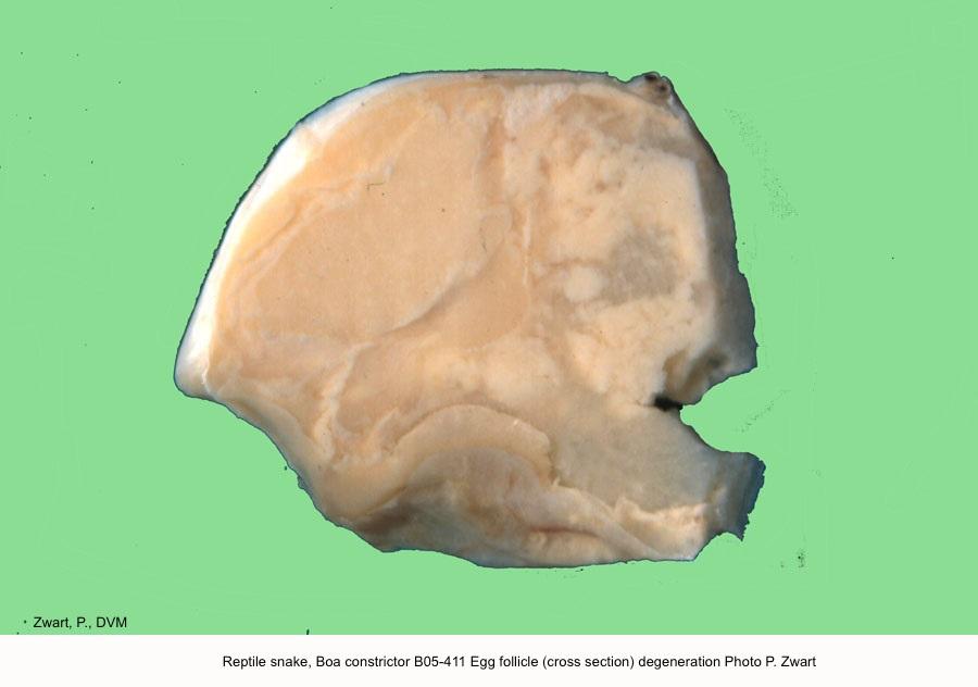 Boa constrictor B05-411 Eggfollicle (cross section) degeneration P. Zwart