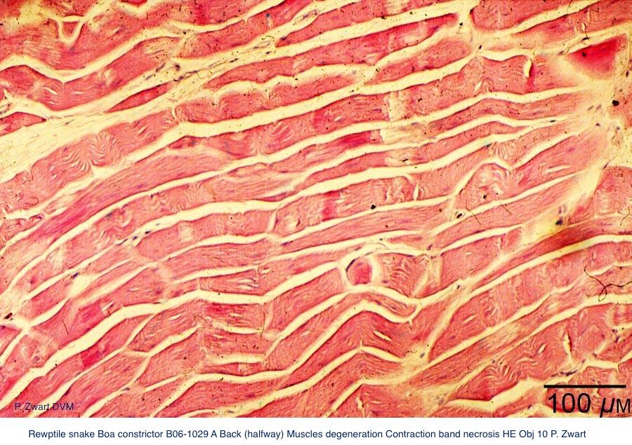 Boa constrictor B06-1029 A Back (halfway) Muscles normal HE Obj 10 P. Zwart kopie