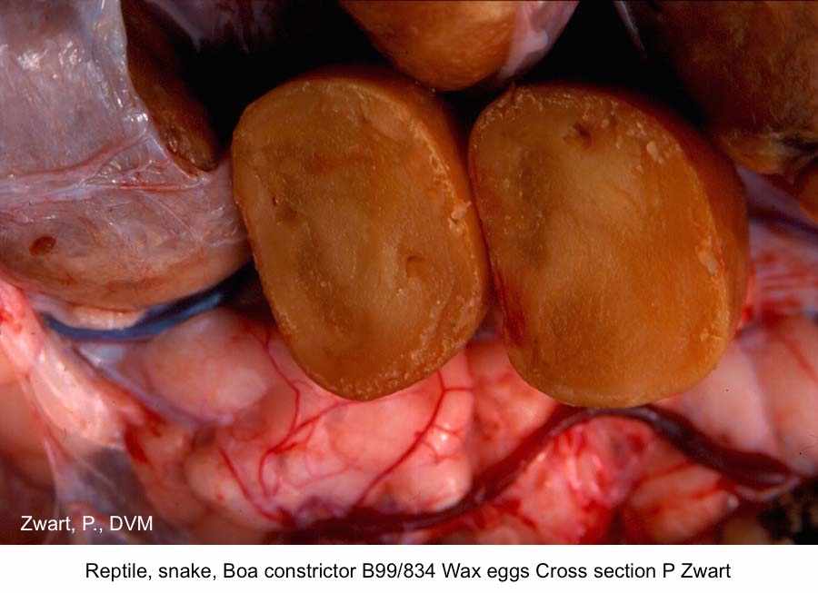 Boa constrictor B99-834 Wax Egg in cross section P Zwart