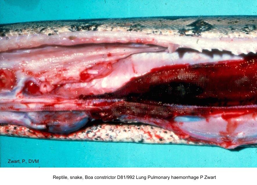 Boa constrictor D81:992 Lung Pulmonary haemorrhage P Zwart