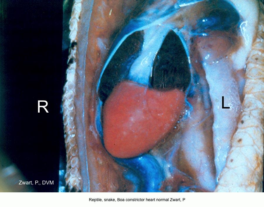 Boa constrictor heart normal Zwart, P kopie