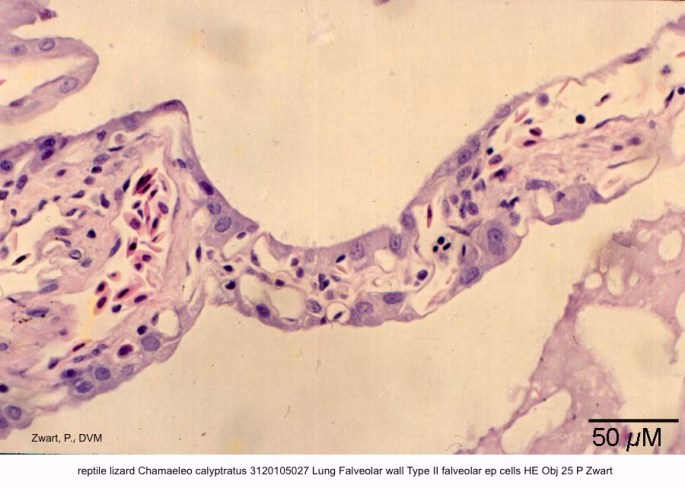 Chamaeleo calyptratus 3120105027 Lung Falveolar wall Type II falveolar ep cells HE Obj 25 P Zwart kopie