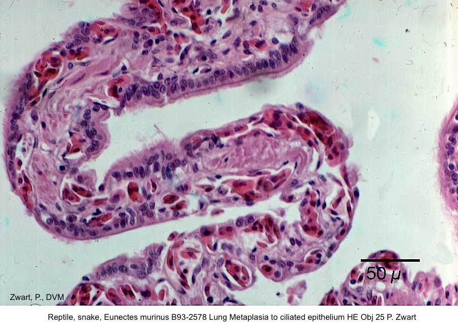 Eunectes murinus B93-2578 Lung Metaplasia to ciliated epithelium HE Obj 25 P. Zwart kopie