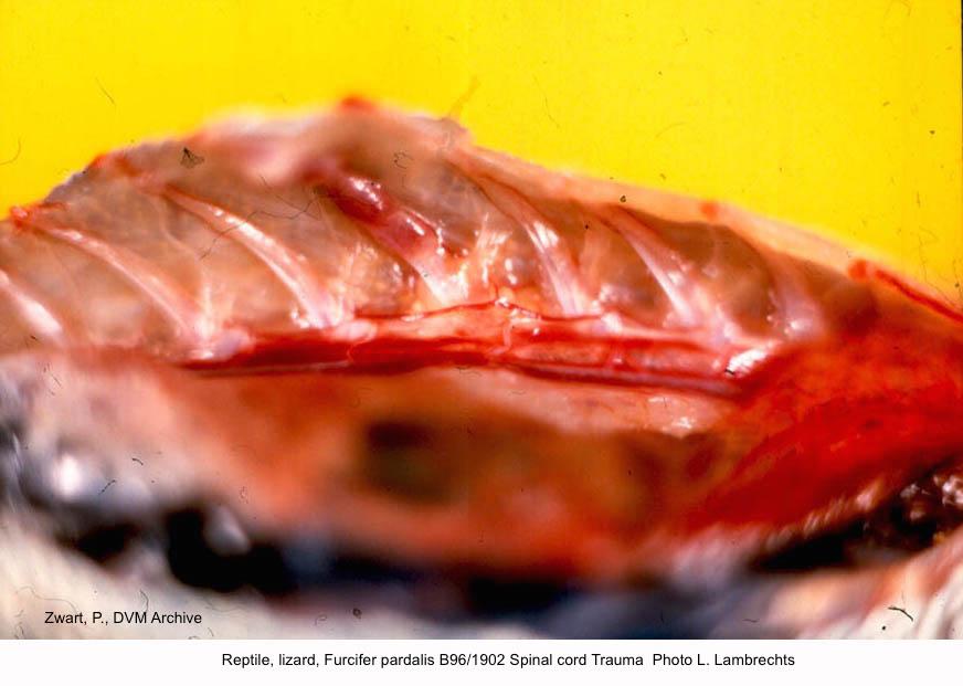 Furcifer pardalis B96:1902 Spinal cord Trauma Photo L. Lambrechts kopie