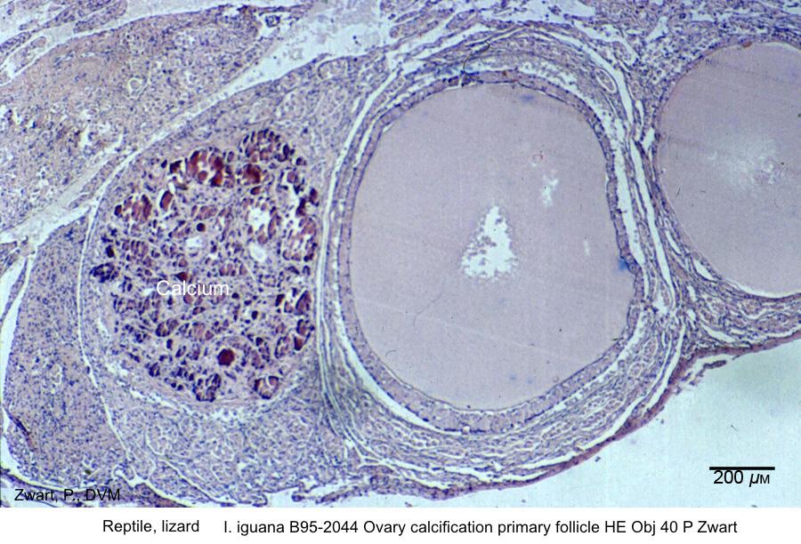 I. iguana B95-2044 Ovary calcification primary follicle kopie