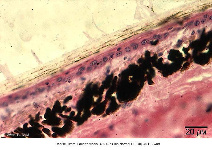 Lacerta viridis D76-427 Skin Normal HE Obj 40 P. Zwart kopie