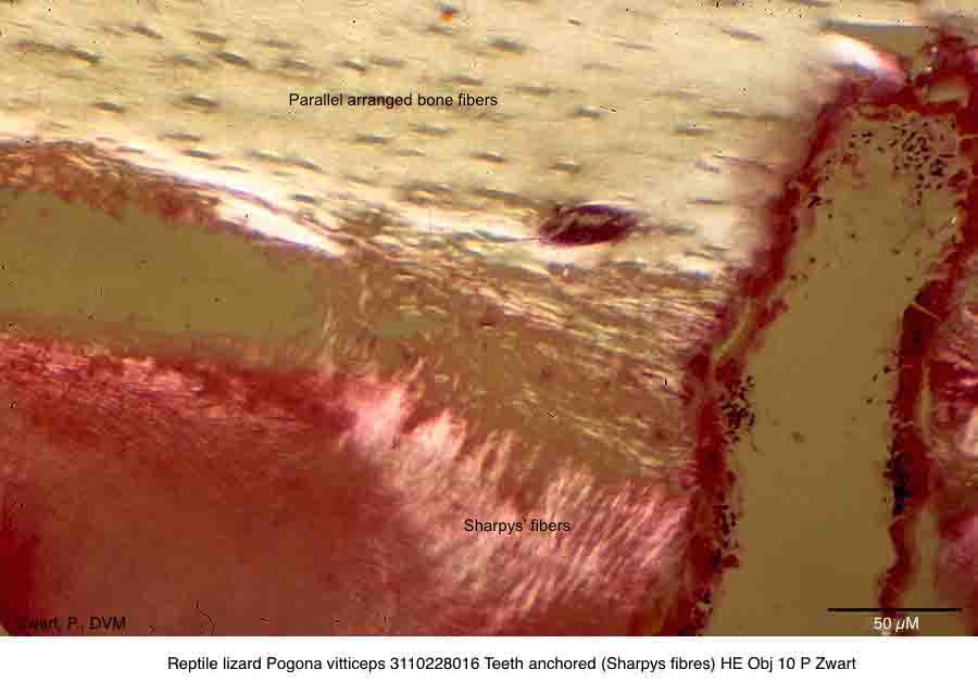 Pogona vitticeps 3110228016 Teeth anchored (Sharpys fibres) HE Obj 25 P Zwart kopie 2