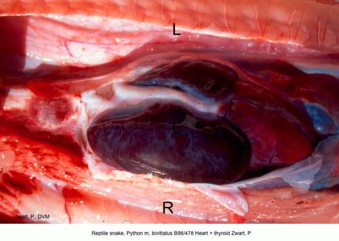 Python m. bivittatus B98-478 Heart + thyroid Zwart, P