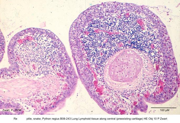 Python regius B08-243 Lung Lymphoid tissue along central (preexisting cartilage HE Obj 10 P Zwart) kopie