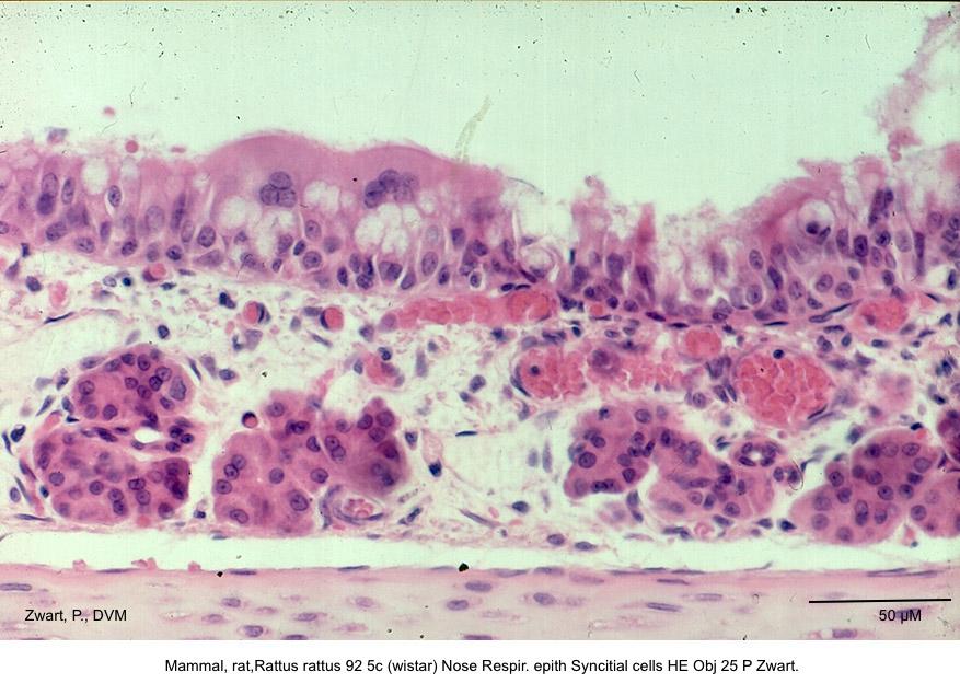 Rattus rattus 92 5c (wistar) Nose Respir. epith Syncitial cells HE Obj 25 P Zwart. kopie