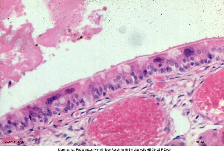Rattus rattus (wistar) Nose Respir. epith Syncitial cells HE Obj 25 P Zwart kopie