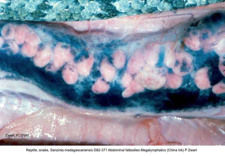 Sanzinia madagascariensis D82-371 Abdominal fatbodies Megalymphatics (China ink) P Zwart kopie