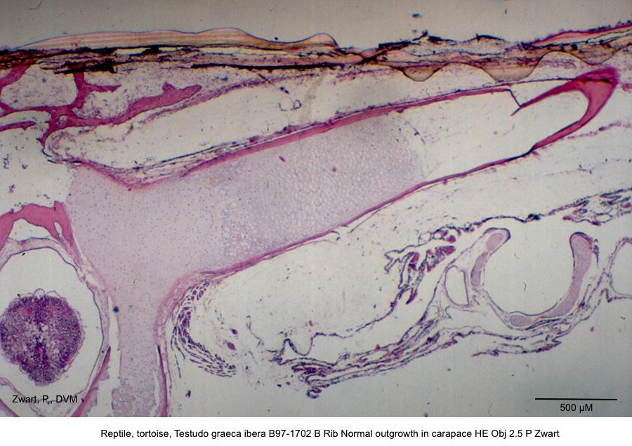 Testudo graeca ibera B97-1702 B Rib Normal outgrowth in carapace HE Obj 2.5 P Zwart kopie