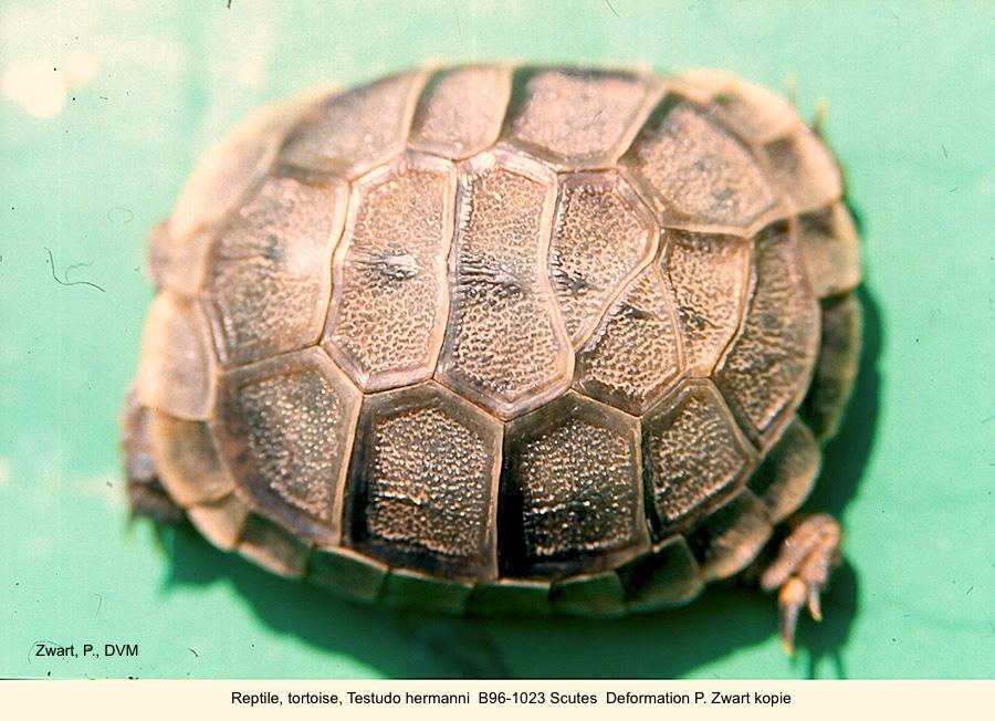 Testudo hermanni B96-1023 Scutes Deformation P. Zwart kopie