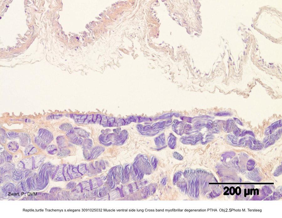 Trachemys s.elegans 3091025032 Muscle ventral side lung Cross band myofibrillar degeneration PTHA Obj 10 P. Zwart