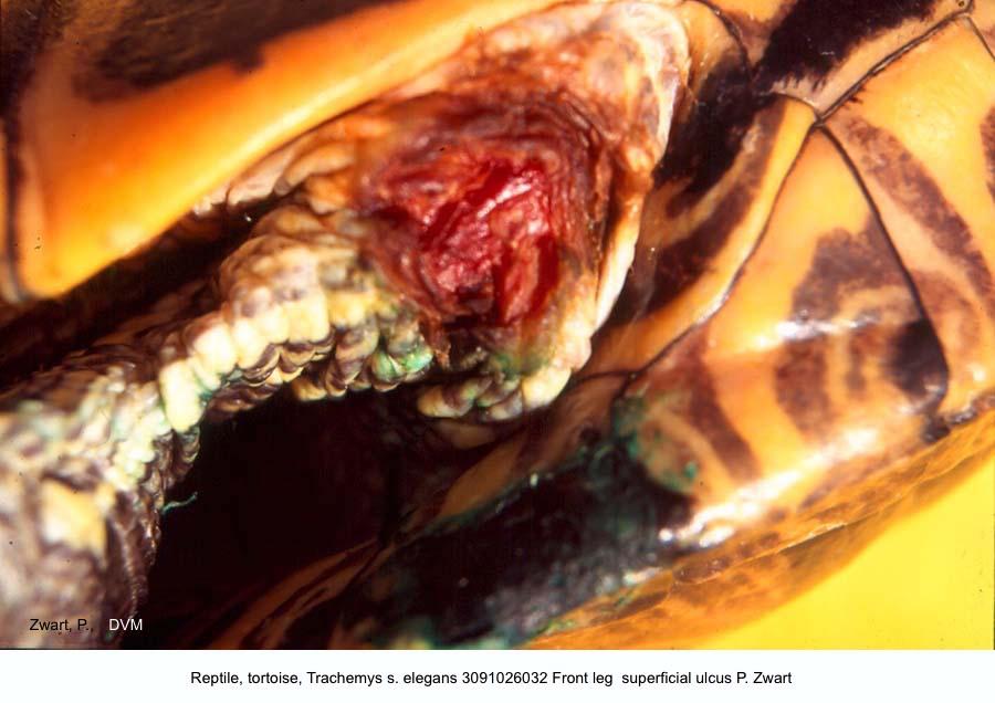 Trachemys s. elegans 3091026032 Front leg superficial ulcus P. Zwart