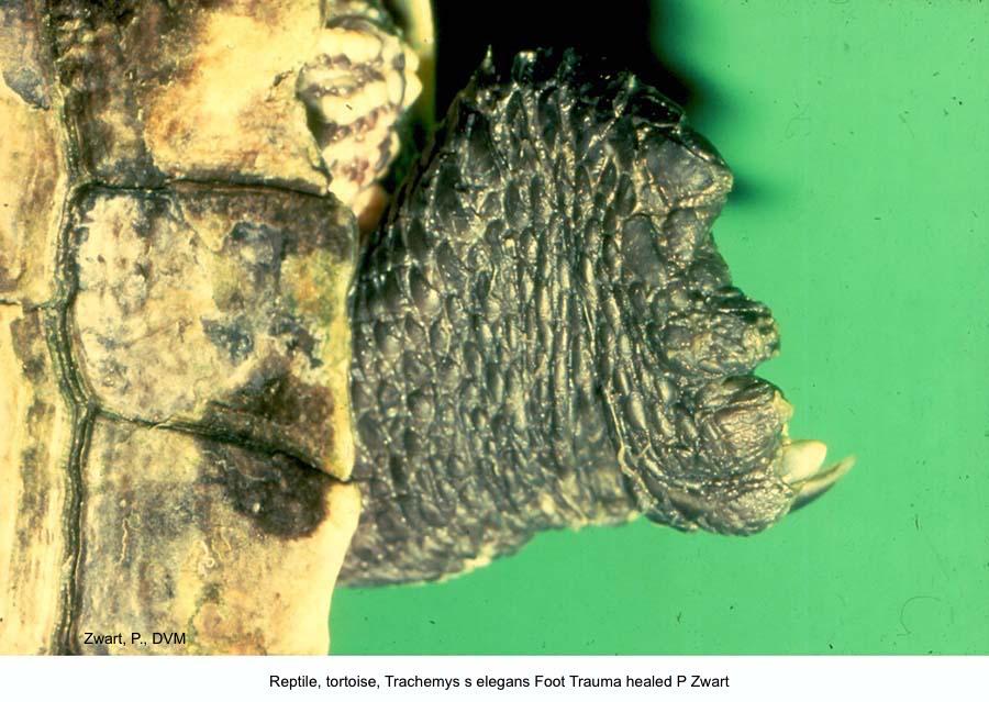 Trachemys s elegans Foot Trauma healed P Zwart