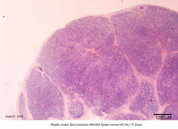 Boa constrictor B99-834 Spleen Normal histol HE Obj 1 P Zwart kopie