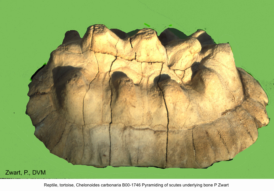 Chelonoides carbonaria B00-1746 Pyramiding of scutes underlying bone P Zwart kopie