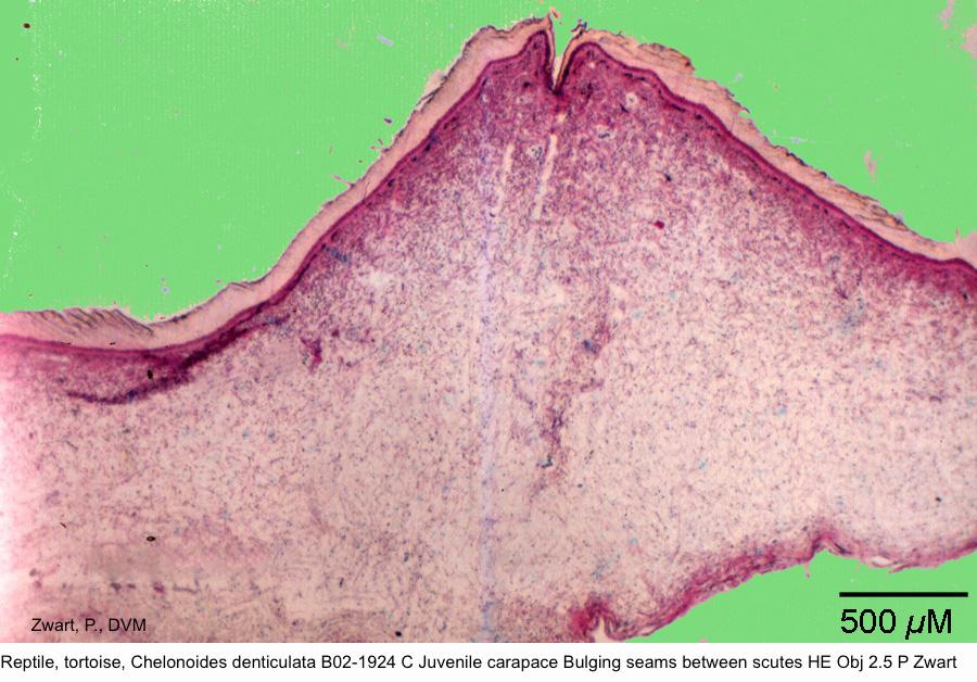 Chelonoides denticulata B02-1924 C Carapace Bulging seams between scutes HE Obj 2.5 P Zwart kopie