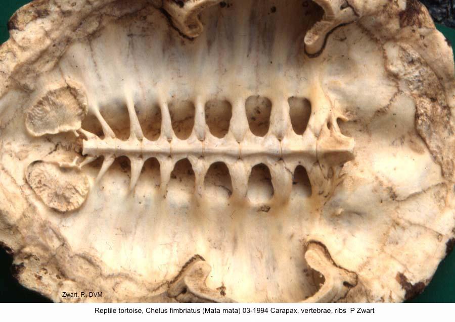 Chelus fimbriatus (Mata mata) 03-1994 Carapax, vertebrae, ribs P Zwart kopie