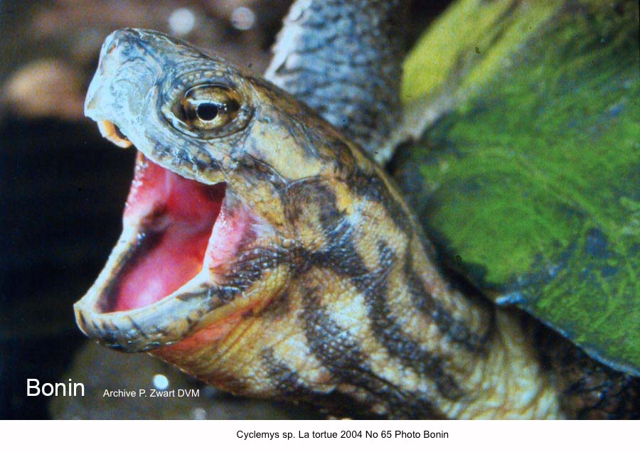 Cyclemys sp. La tortue 2004 No 65 Photo Bonin kopie
