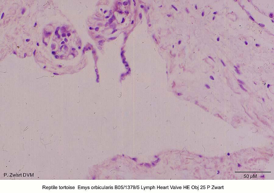 Emys orbicularis B05-1379-5 Lymph Heart Valve HE Obj 25 P Zwart