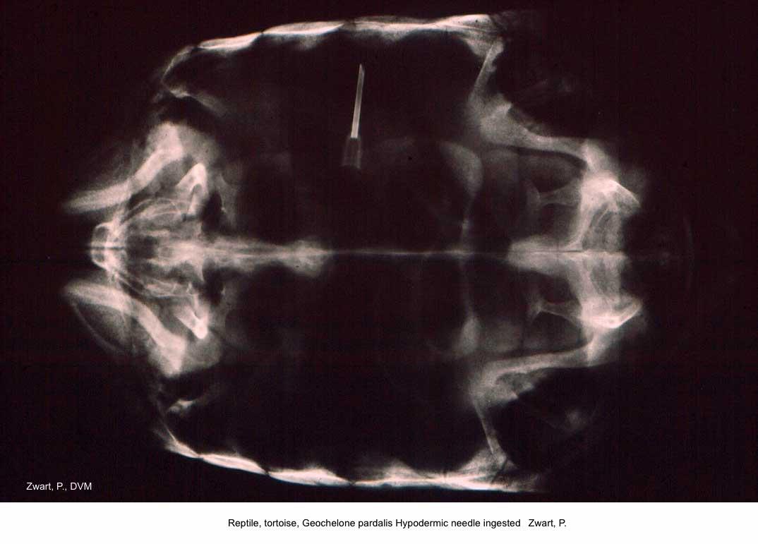 Geochelone pardalis Hypodermic needle ingested kopie