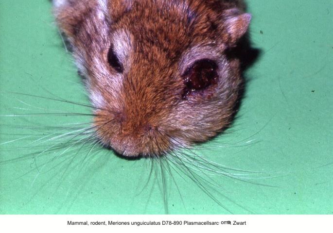 Meriones unguiculatus D78-890 Plasmacellsarcoma P. Zwart kopie