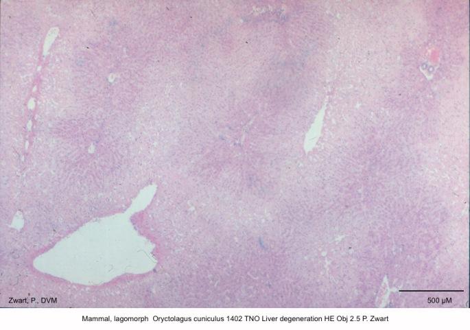 Oryctolagus cuniculus 1402 TNO Liver degeneration HE Obj 2.5 P. Zwart kopie