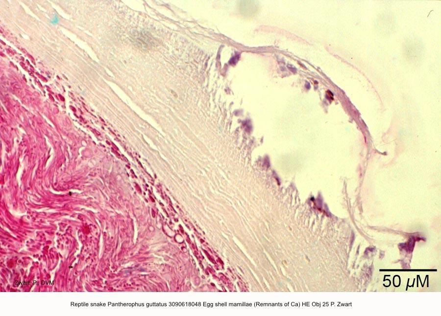 Pantherophus guttatus 3090618048 Egg shell mamillae (Remnants of Ca) HE Obj 25 P. Zwart kopie