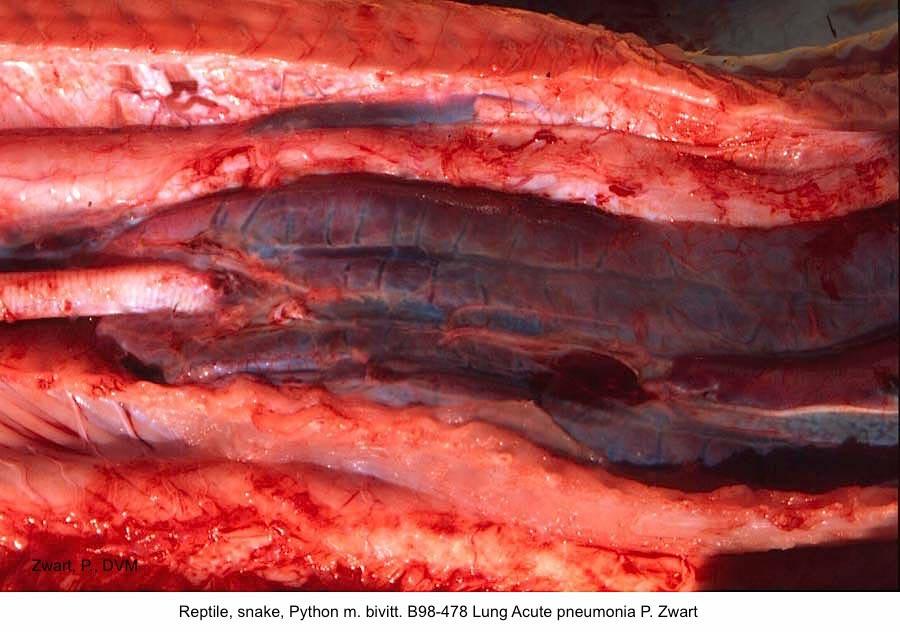 Python m. bivittatus B98-478 Lung Acute pneumonia P. Zwart