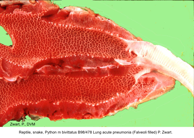 Python m. bivittatus B98:478 Lung acute pneum. P. Zwart