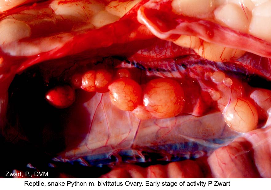 Python m. bivittatus ovary early activity P. Zwart