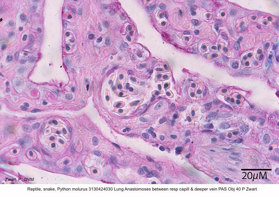 Python molurus 3130424030 Lung Anastomoses between resp capill & deeper vein PAS Obj 40 P Zwart