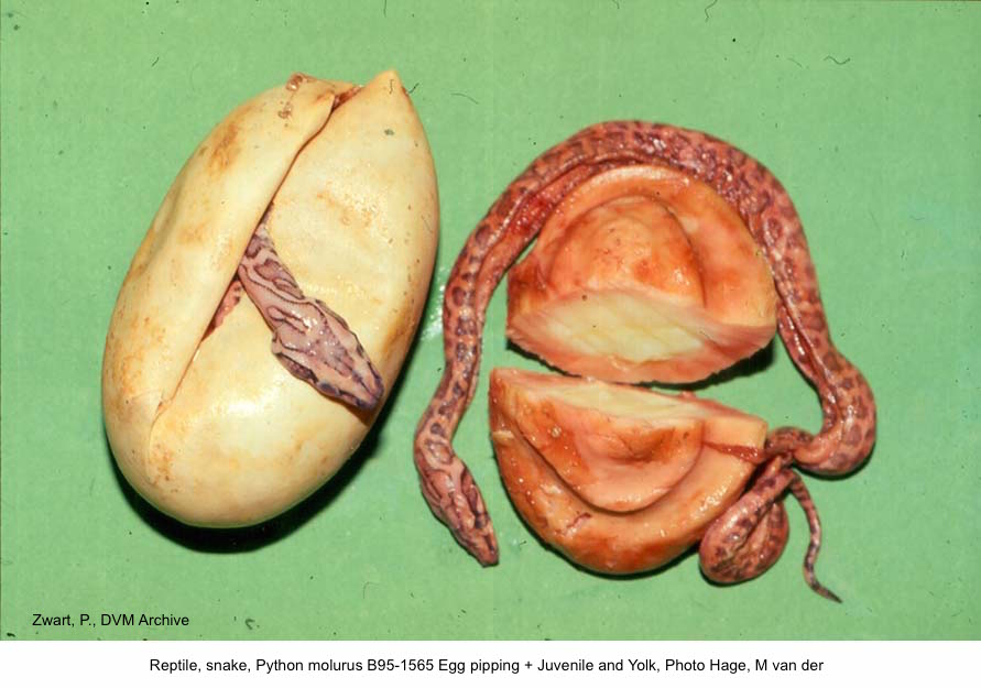 Python molurus B95-1565 Egg + juv and Juvenile + yolk, Photo Hage, M van der