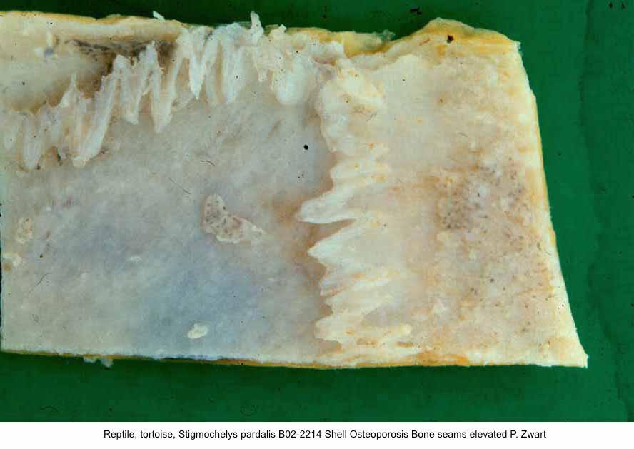 Stigmochelys pardalis B02-2214 plastron Osteoporosis Bone seams elevated P. Zwart