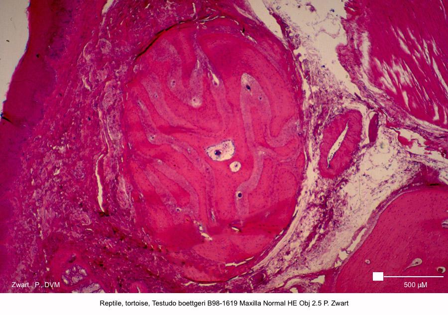Testudo boettgeri B98-1619 Maxilla Normal HE Obj 2.5 P. Zwart kopie