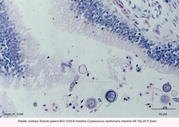 Testudo graeca B02-1224-B Intestine Cryptococcus neoformans Intestine HE Obj 25 P Zwart