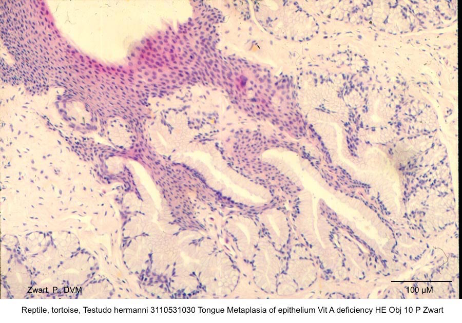 Testudo hermanni 3110531030 Tongue Metaplasia of epithelium Vit A deficiency HE Obj 10 P Zwart copy