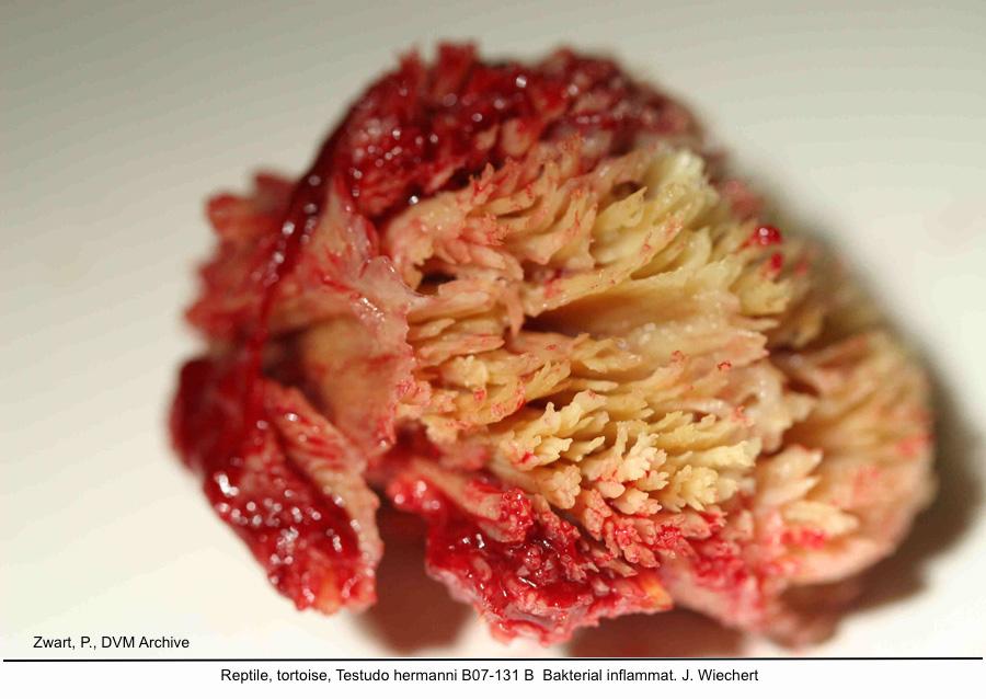 Testudo hermanni B07-131 B Bakterial inflammat. J kopie