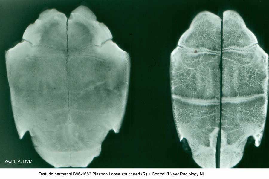 Testudo hermanni B96-1682 Plastron Loose structured (R) + control (L) Vet Radiology Utrecht