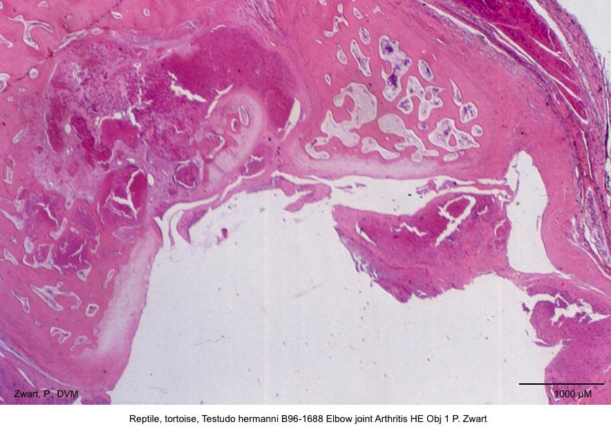 Testudo hermanni B96-1688 Elbow joint Arthritis HE Obj 1 P. Zwart kopie