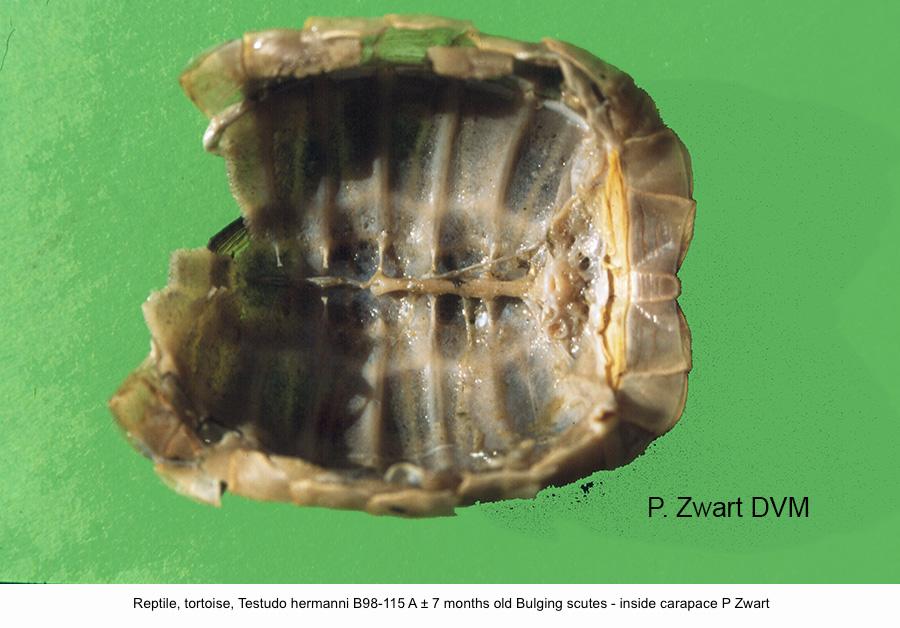 Testudo hermanni B98-115 A ± 7 months old Bulging scutes - inside carapace P Zwart kopie
